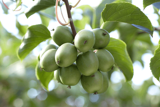 Southern Produce Kiwiberry